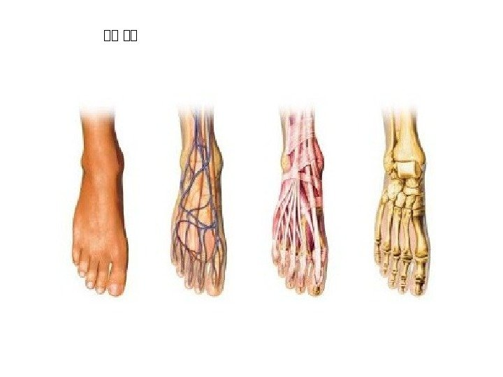 Foot arteries anatomy